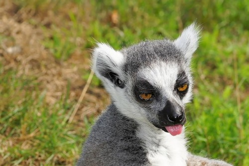 ring-tailed-lemur-852897_640